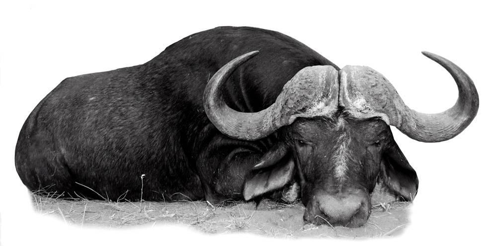 Cuchillos Muela Safari Búfalo.