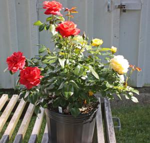 Rosa injertada con navaja agrícola